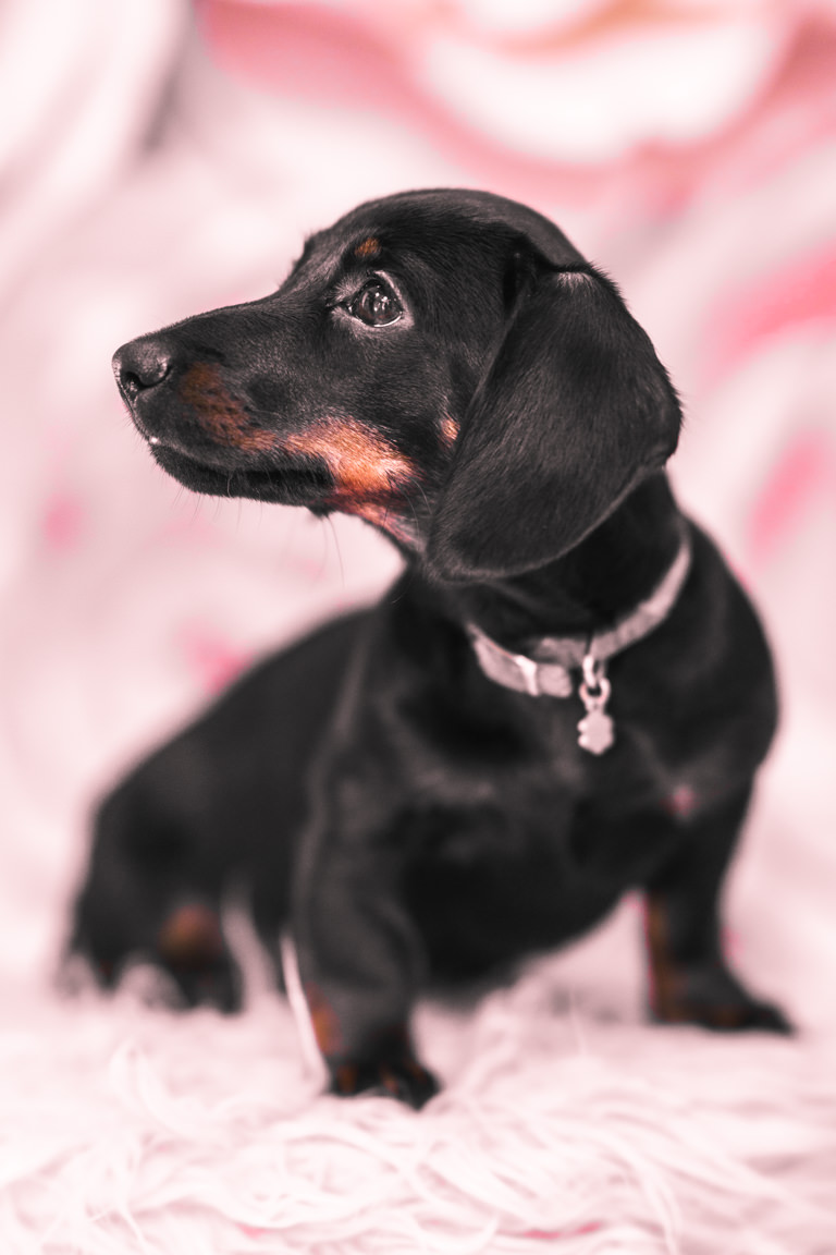 Dachshund puppy with paper flowers at SNAP Foto Club