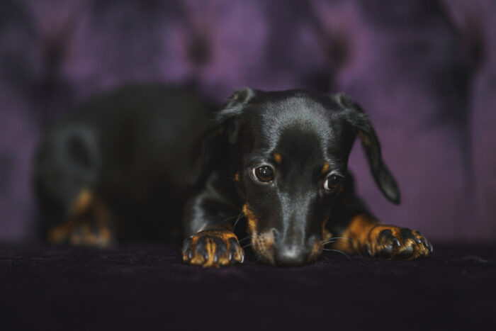Dachshund puppy on purple velvet couch at SNAP Foto Club