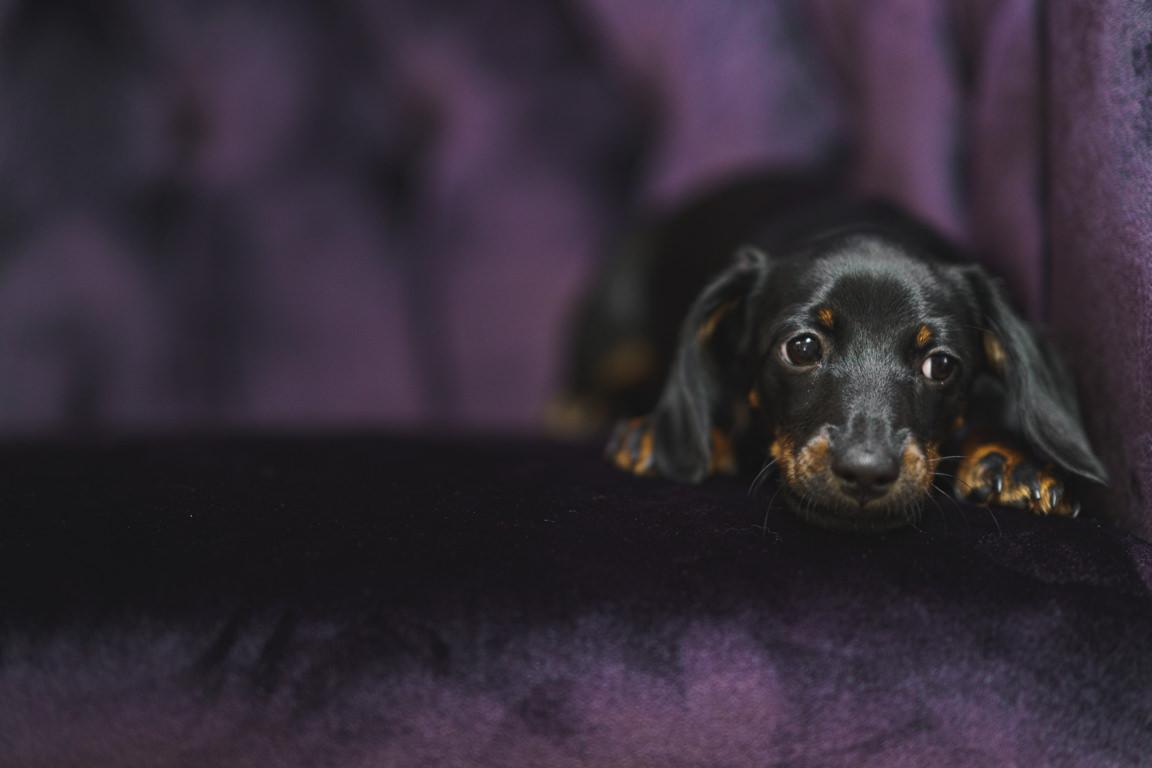 Dachshund puppy on velvet couch