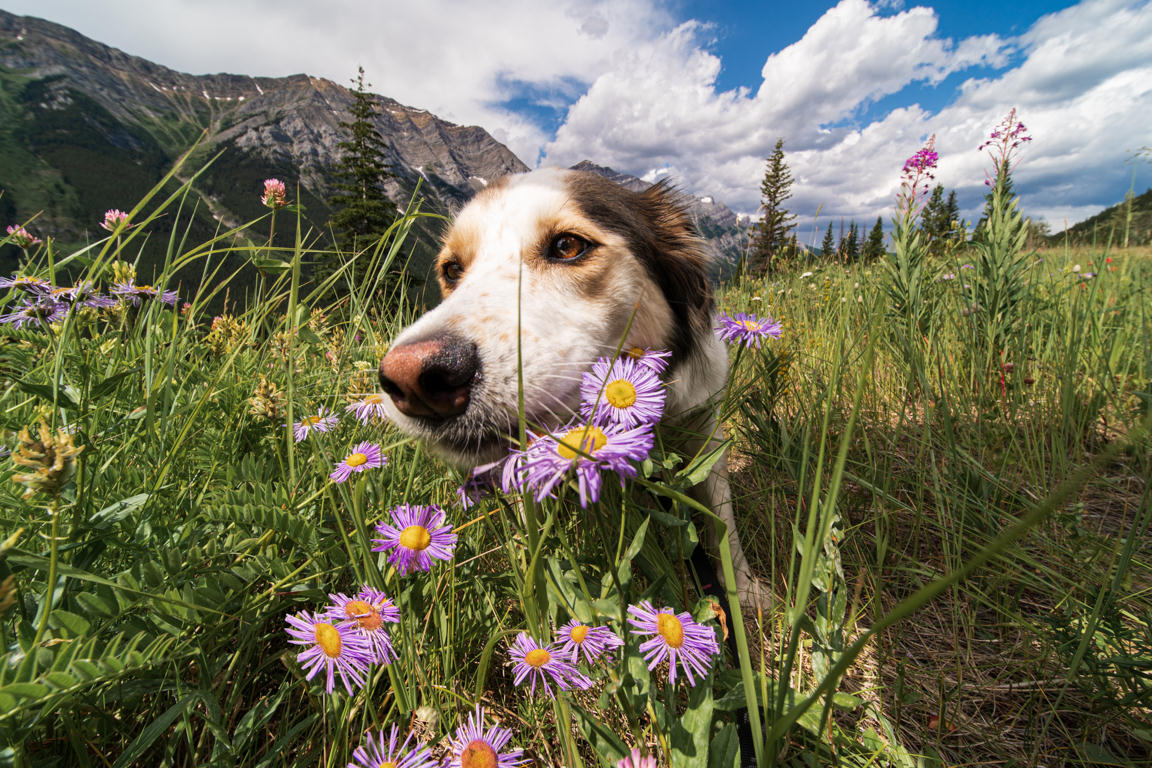 Dog in Kananaskis country among flowers